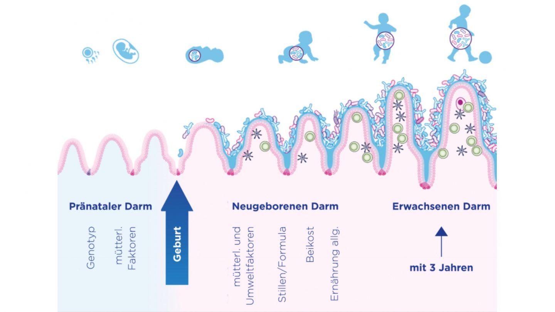 Frühkindliche Entwicklung der Darmflora und des Immunsystems (adaptiert nach Wopereis et al. 2014)