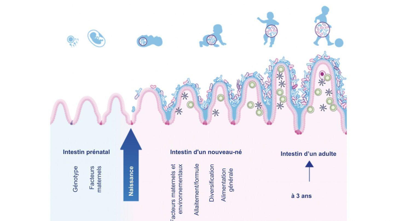 développements de l'intestin et du système immunitaire